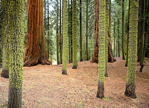 LICHEN-COVERED LODGEPOLE PINE TREES STAND OUT IN A FOREST OF GIANT SEQUOIAS IN SEQUOIA NATIONAL PARK, CALIFORNIA