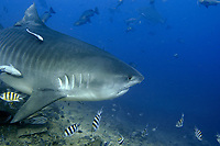 Tiger Shark, Galeocerdo cuvier, known as 'Scarface', Shark Reef, Beqa Lagoon, Fiji, South Pacific Ocean