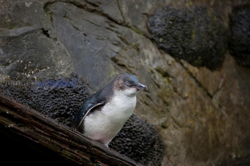 Little Blue Penguin (Eudyptula minor), New Zealand