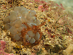 Kenting, Taiwan -- An small orangutan crab in a bubble coral.<br /> The long hairs on its legs allow it to attach small particles for camouflage.