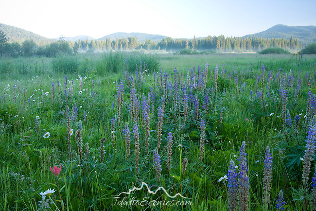 Idaho, Bonner County, Priest Lake, Nordman. Wildflowers in Bismark Meadows with morning mist. Bismark Meadows is prime spring habitat for the Selkirk Grizzly bear population.