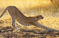Stretching cheetah, Grumeti, Tanzania, East Africa RESERVED USE - NOT FOR DOWNLOAD -  FOR USE CONTACT TIM GRAHAM
