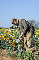 Ron Scamp in the daffodil fields