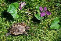 Baby turtle, 2 toed box turtle on mossy garden floor in shade with violet bloom