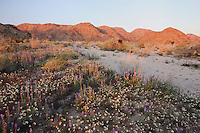 Desert in bloom with Brown-eyed Primrose (Camissonia claviformis), Arizona lupine (Lupinus arizonicus), Joshua Tree National Park, California, USA