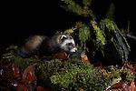 A wild European Polecat (Mustela putrorius)investigating an old tree stump on the wood land floor. North Wales.