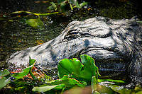 Alligator at Shark Valley, Everglades National Park, South Florida, USA.  Photo by Debi PIttman Wilkey