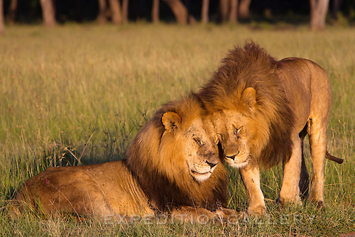 Two adult male African lions with a large mane in early dawn light, rubbing heads together as a form of greeting. Masai Mara National Reserve, Kenya.