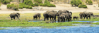 A herd of elephants coming to drink from the waters of the Chobe River in Chobe National Park, Botswana.