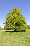 Single tree standing in field, Tilia X europaea Common Lime tree, Sutton, Suffolk, England