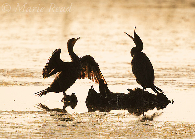 Double-crested Cormorants (Phalacrocorax auritus) two in silhouette, Montezuma National Wildlife Refuge, New York, USA