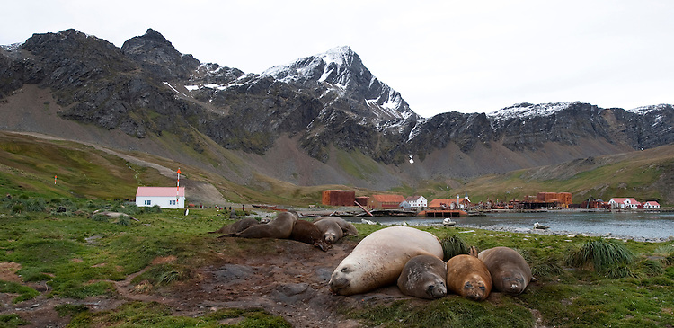 Resting Southern elephant seal (Mirounga leonina), Grytviken, South Georgia is visible in the background
