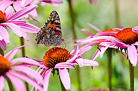 Painted lady butterfly, Vanessa cardui, on coneflower, Maine, USA