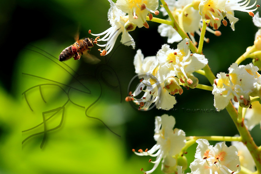 A bee flies off to gather nectar from the flowers of a chestnut tree.///Une abeille vole pour butiner des fleurs de marronnier commun.