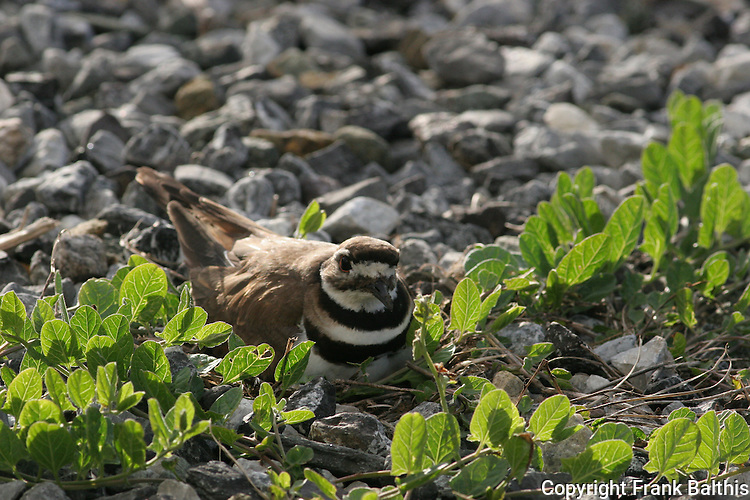 Killdeer on nest in Half Moon Bay