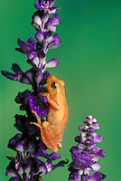 Spring peeper, Hyla cruciform, appears to  climb carefully up stalk of purple flowers