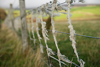 Wire fence wrapped with sheep wool, Orkney, Scotland