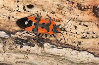 Ritterwanze, Ritter-Wanze, Lygaeus cf. equestris, Black-and-Red-bug, Knight bug, Harlequin bug, Bodenwanzen, Langwanzen, Lygaeidae, ground bugs