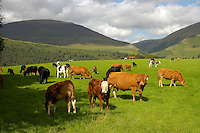 Beef cows and calves, Castlerigg, Keswick, Cumbria.