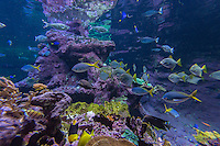Europe/France/Normandie/Basse-Normandie/50/Cherbourg:  La Cité de la Mer, Parc scientifique et ludique<br /> L'aquarium abyssal: Dans ce grand bassin représentant  un atoll corallien évoluent plus de 3500 poissons: Cocher solitaire -Poisson papillon //  France, Manche, Cotentin, Cherbourg, museum Cite de la Mer (city of the sea),  Aquarium