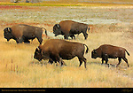 Bison Adults and Juvenile, Hayden Valley, Yellowstone National Park, Wyoming