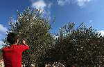 A Palestinian boy picks up olives at a farm during a harvest season, near the Israeli settlement of Ariel in the occupied West Bank city of Salfit, after Israeli authorities allowed Palestinian farmers to harvest olives just for several days limited, on October 10, 2018. Photo by Shadi Jarar'ah