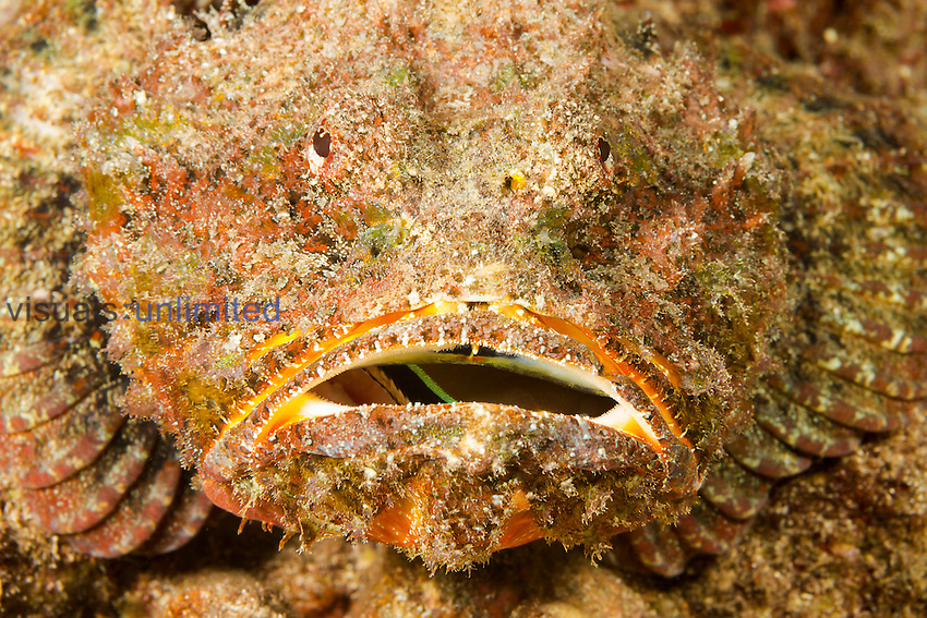 Devil Scorpionfish (Scorpaenopsis diabolus) with a captured Wrasse in its mouth, Hawaii, USA