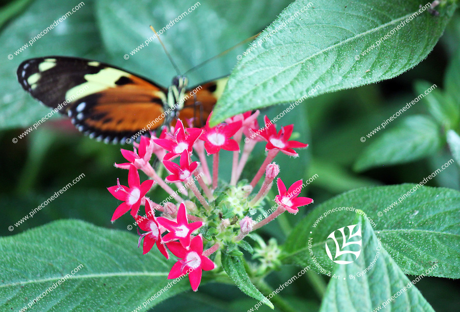 Stock photo: Out of focus postman butterfly perching on beautiful tiny pink flowers in the Callaway Gardens, Georgia, USA.