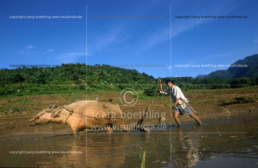 PHILIPPINES, Negros, organic farming, farmer ploughs paddy field with white water buffalo in village Sitio Tabidiao / Philippinen, Negros, biologischer Reisanbau, Bauer pfluegt Reisfeld mit weissem Wasserbueffel