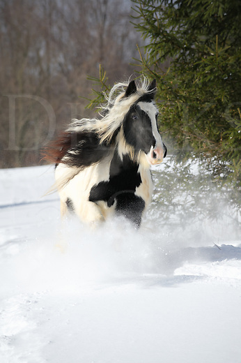 Horse running through fresh winter snow in sunlight, a black and white Gypsy Vanner with long mane hair flying in a front view, a rural scene in Pennsylvania, PA, USA.