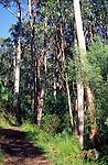 Temperate rainforest, Great Otway national park, near Lorne, Victoria, Australia