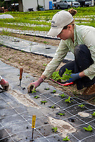Workers planting annual flower seedling plugs at Gardeners Workshop flower farm