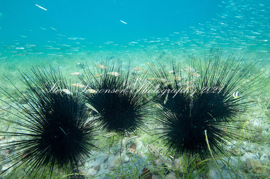Long-spined urchin <br /> (Diadema antillarum)<br /> Leinster Bay, St John.Virgin Islands National Park