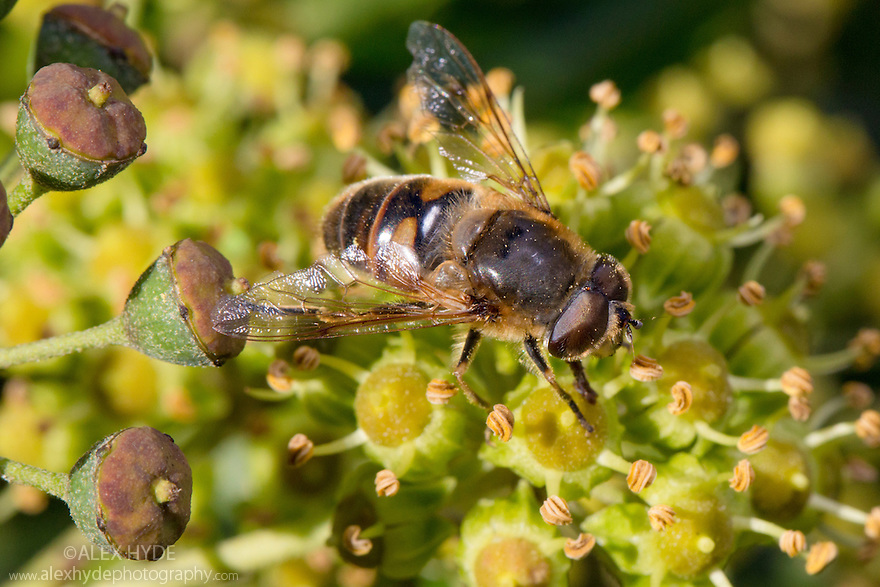 Tapered Drone Fly (Eristalis pertinax) on Ivy flowers (Hedera helix). Peak District National Park, Derbyshire, UK. November.