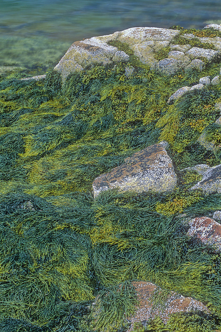 Bladder Wrack seeweed is found drying out at low tide on the Sommes Sound shore, Acadia National Park, Hancock County, Maine