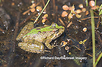 02434-002.01 Cricket Frog (Acris crepitans) in wetland, Marion Co.  IL