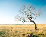 MADAGASCAR, man standing on branch of bare tree in field, Amphea Plateau