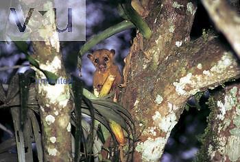 Kinkajou in a rainforest tree (Potos flavus), Central and South America.