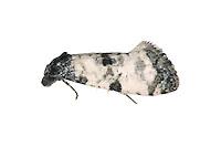 Cochylis atricapitana - Cochylis atricapitana