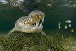 American Crocodile, crocodilus acutus, Banco Chinchorro Atoll, Quintana Roo, Southeastern Mexico. Caribbean Sea.