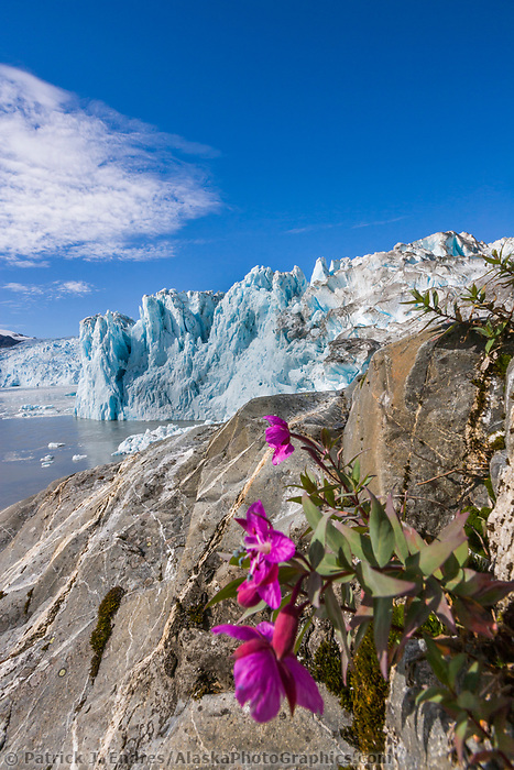 Dwarf fireweed, Chenega glacier, Prince William Sound, Alaska.