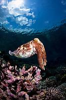 Broadclub cuttlefish, Sepia latimanus, over reef, Wakatobi National Park, Southeast Sulawesi, Indonesia, Banda Sea, Indian Ocean