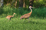 Sandhill family walking in a northern Wisconsin field.