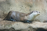 African clawless otter or Cape clawless otter, Aonyx capensis, widespread, though not abundant, in Africa south of the Sahara. (c)