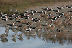 skimmers, marbled godwits, willets at Upper Newport Bay