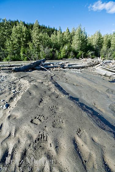 Bear tracks in the sand along the Taku River, Northern B.C.