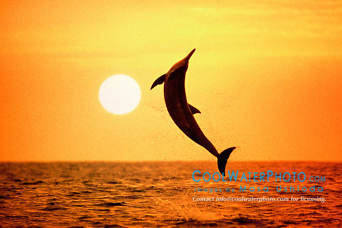 spinner dolphin, leaping at sunset, .Stenella longirostris (pc), .Big Island, Hawaii (Pacific).