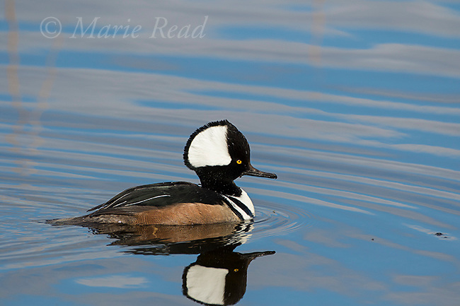 Hooded Merganser (Lophodytes cucullatus) male in breeding plumage, swimming, Viera Wetlands, Florida, USA