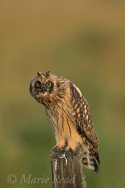Short-eared Owl (Asio flammeus) juvenile female perched on fencepost, Benton Lake National Wildlife Refuge, Montana, USA