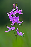 A Grass Pink wild orchid captured to appear rising out of a very soft wet meadow.